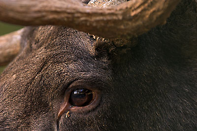 Moose Eyes http://www.mooseman.de/pages/pages_gallery/main/moose/gallery_main_moose_size.htm